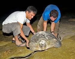 Studying turtle on Qarou island, Kuwait