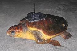 Loggerhead sea turtle named Mariam fitted with sattellite track kit in Masirah i